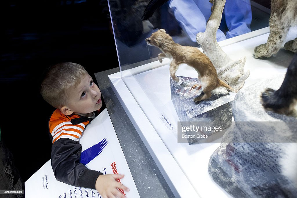 Riley Maki, 3, stares at a taxidermy Long-Tailed Weasel in the the Mount Washington Museum on Thursday afternoon, June 12, 2014 in Coos County New Hampshire. The Museum features an exhibit showcasing the different types of wildlife found in the Presidential Mountain Range, including bobcats, foxes and ravens.