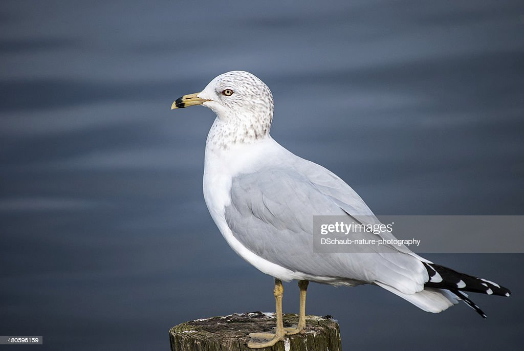 Ring billed gull : Stock Photo