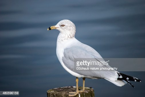 Ring billed gull : Stock Photo
