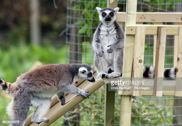 A ring tailed Lemur gets to grips with a new slide and climbing frame installed in it's enclosure at Whipsnade Zoo in Bedfordshire