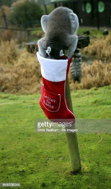 A Ring Tailed Lemur investigates a Christmas stocking containing festive treats at Whipsnade Zoo in Dunstable Bedfordshire