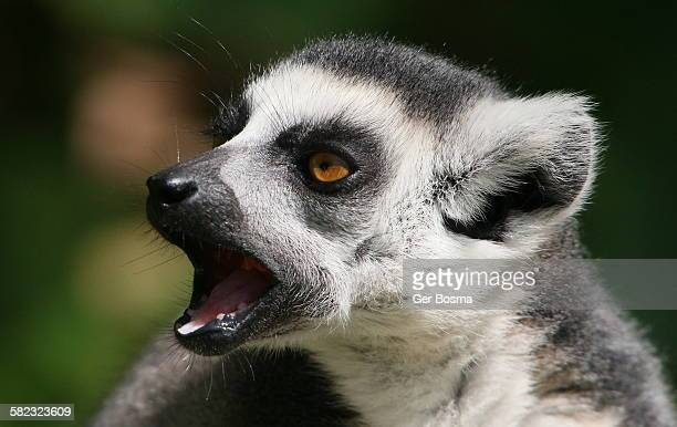 Ring Tailed Lemur Loudmouth