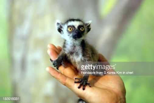 Specific Color Of A Ring Tailed Lemur