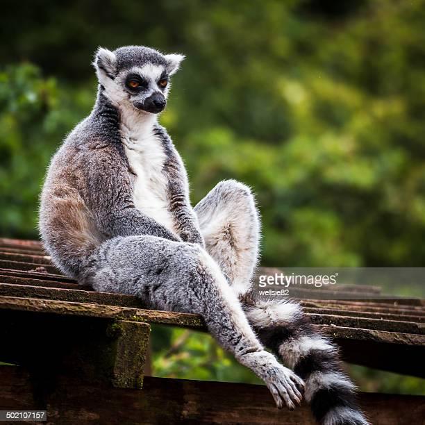 Ring Tailed Lemur A Monkey