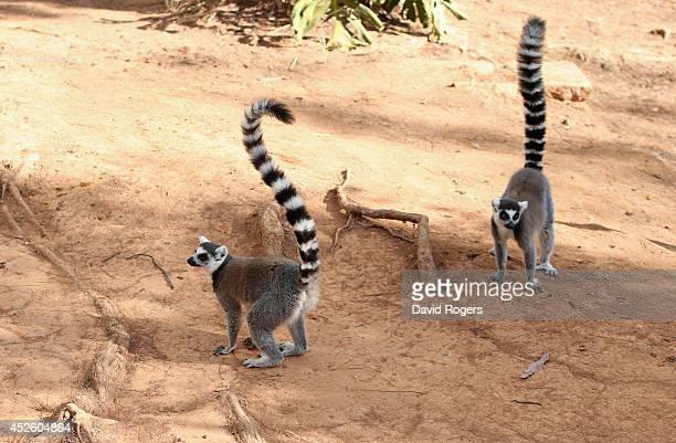 Ring tailed lemurs in Antananarivo on July 21 2014 in Antananarivo Madagascar