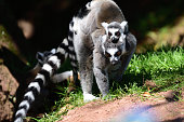 Close up of a ring tailed lemur (Lemur catta) with a baby lemur on it's back