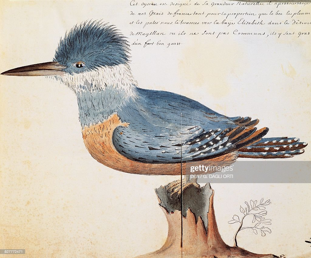 Ringed Kingfisher Elizabeth Bay Strait of Magellan watercolor from the log book by Jacques Gouin de Beauchesne captain of the Compagnie royale de la...