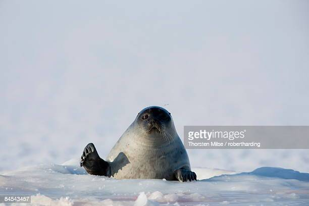 Ringed seal (Phoca hispida), Billefjord, Svalbard, Spitzbergen, Arctic, Norway, Scandinavia, Europe