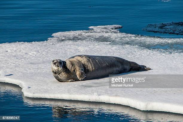 Ringed seal (Pusa hispida) lying on an ice floe, Arctic shelf, Svalbard, Arctic