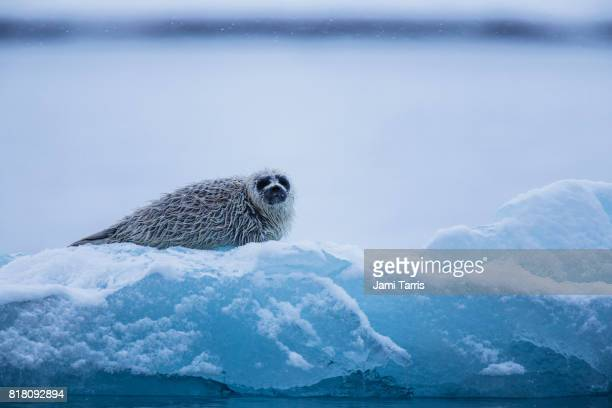 A ringed seal pup lays on an ice flow in a snow storm