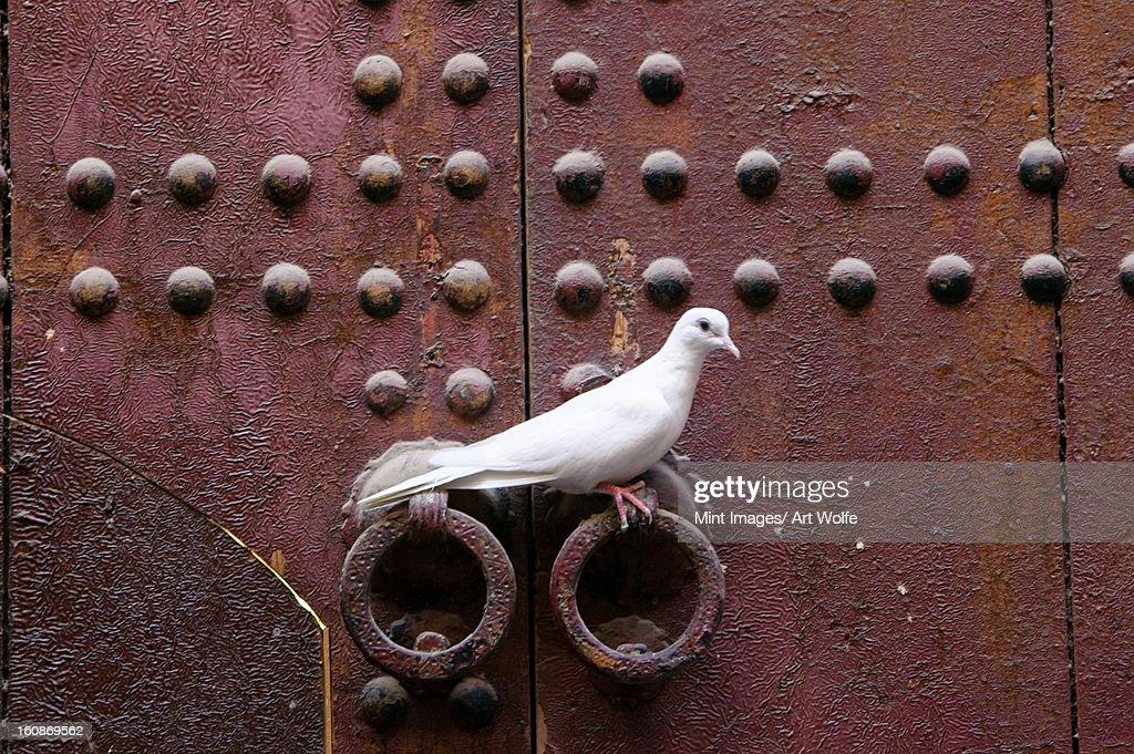 Ringneck dove, Morocco africa, Streptopelia risoria,  : Stock Photo