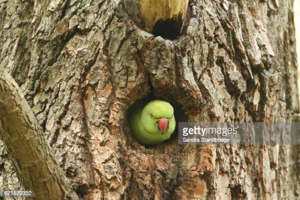 A Ring-necked Parakeet (Psittacula krameri) poking its head out of its nesting hole in a tree..
