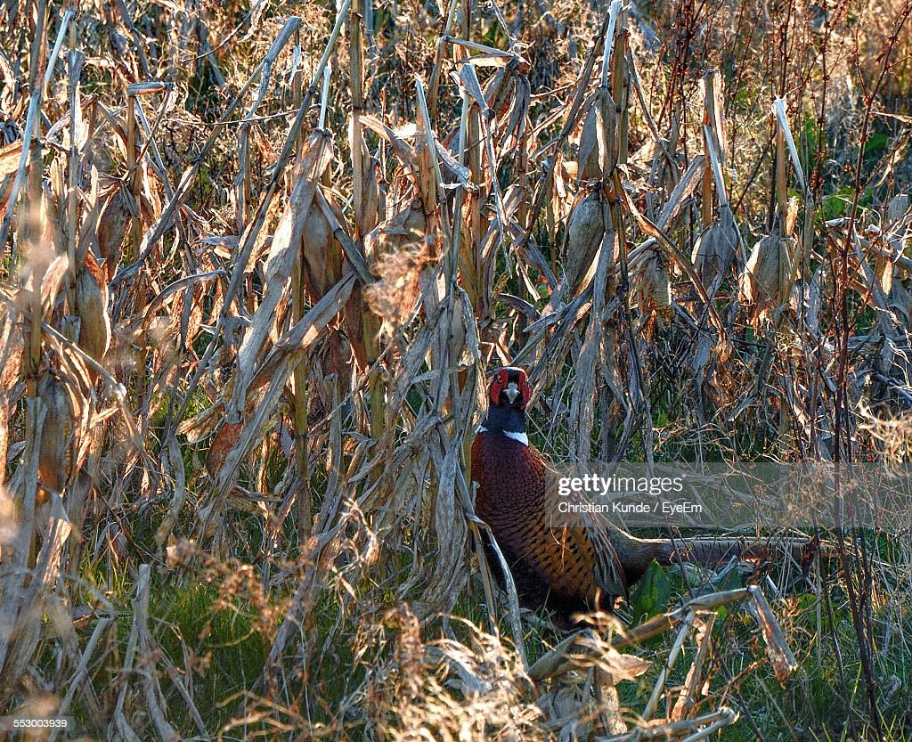 Ring-Necked Pheasant On Field