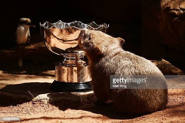 'Ringo' the Wombat shows interest in the Asian Cup trophy during the Asian Cup Trophy Tour at Wild Life Sydney Zoo on December 2 2014 in Sydney...