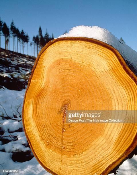 Rings On Felled Tree Trunk In Winter