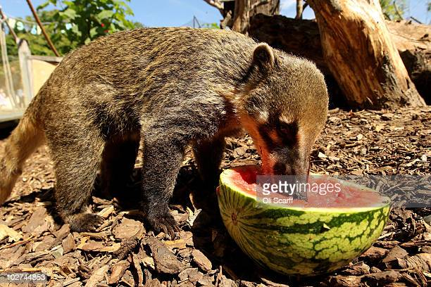 A ringtailed coati cools down as it eats a watermelon given to it by its keeper at ZSL London Zoo on July 9 2010 in London England The Met Office has...