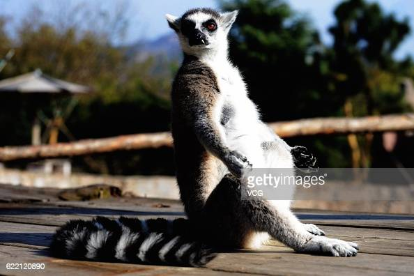 A ringtailed lemur basks in the sun at Qingdao Forest Wildlife World On November 10 2016 in Qingdao Shandong Province of China Living in captivity...