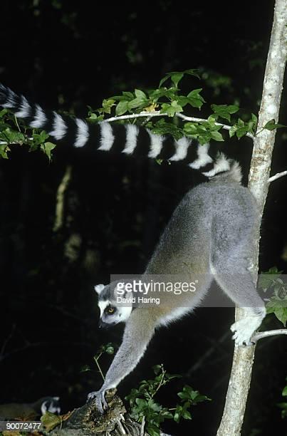ringtailed lemur: lemur catta  male. scent marking