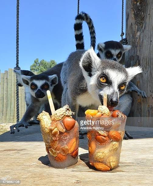 A ringtailed lemur licks a block of ice containing frozen fruit given by zoo officials to help animals cool off as temperatures reach 40 degrees at...