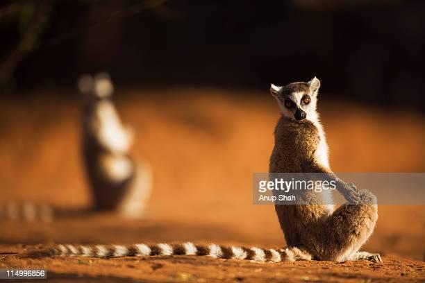 Ring-tailed Lemur sunning