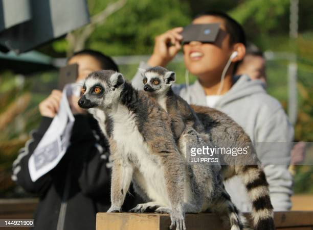 Ringtailed lemurs look on as children view a solar eclipse at the Japan Monkey Center in Inuyama city in Aichi prefecture central Japan on May 21...