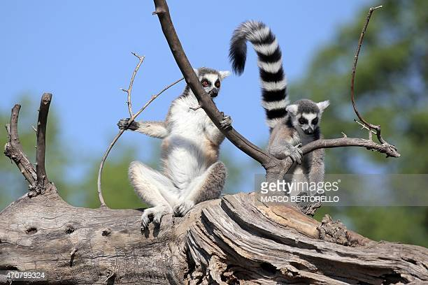Ringtailed lemurs sit on a branch at Zoom Torino a zoological park in Cumiana near Turin on April 22 2015 AFP PHOTO / MARCO BERTORELLO