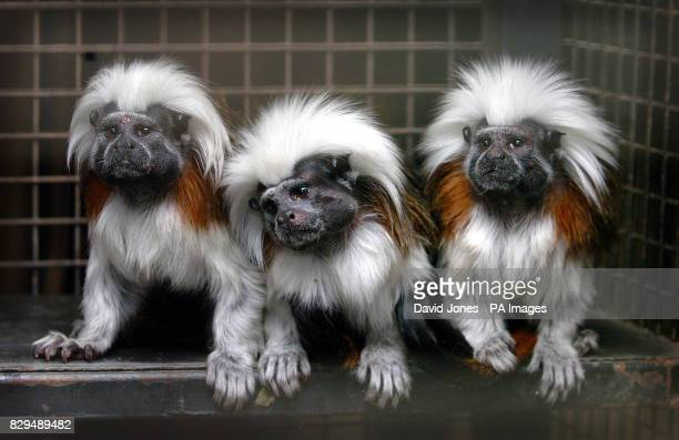 Rio Baby and Pinkie the Tamarin monkeys back home The monkeys were stolen in an overnight raid earlier in the week but were recovered by Police from...