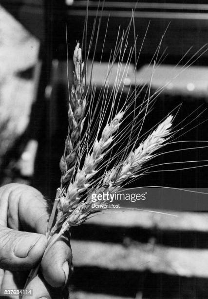 Ripe and golden wheat is being harvested all over eastern Colorado this week Each stalk of the valuable crop contains dozens of wheat kernels which...