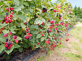 Ripe and red blackberries on the berry plantation