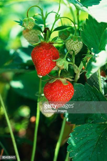 Unripe Strawberries Strawberry Vine...