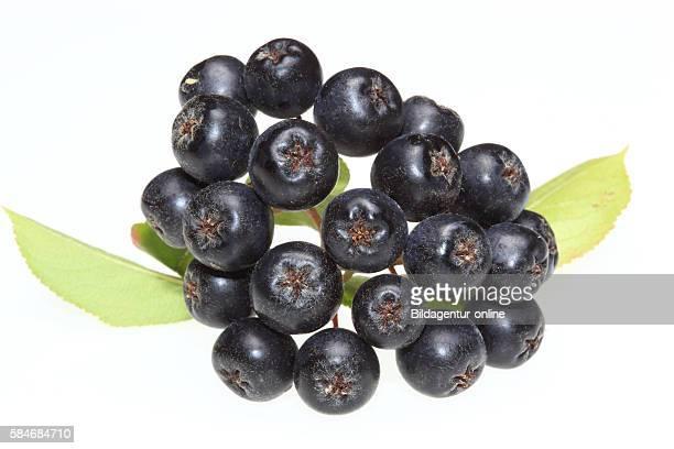 Ripe berry of Aronia melanocarpa black chokeberry medicinal plant and food