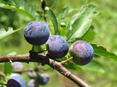 Sloe (Prunus spinosa) close-up in summer