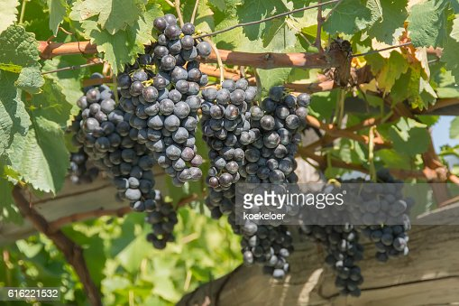 Ripe blue grapes in vineyard : Stock Photo