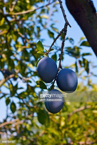 Ripe blue plumbs growing on a tree