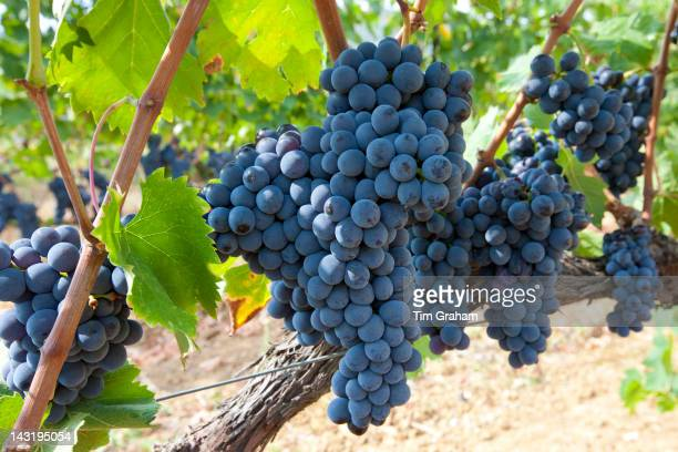 Ripe Brunello grapes Sangiovese growing on vine at wine estate in region of Montalcino in Val D'Orcia Tuscany Italy