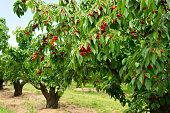 A photo of beautiful cherry trees with cherries in orchard.