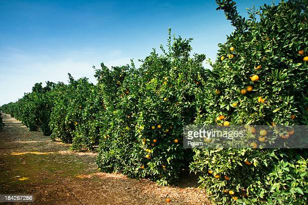 Ripe citrus grove