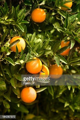 Ripe citrus grove