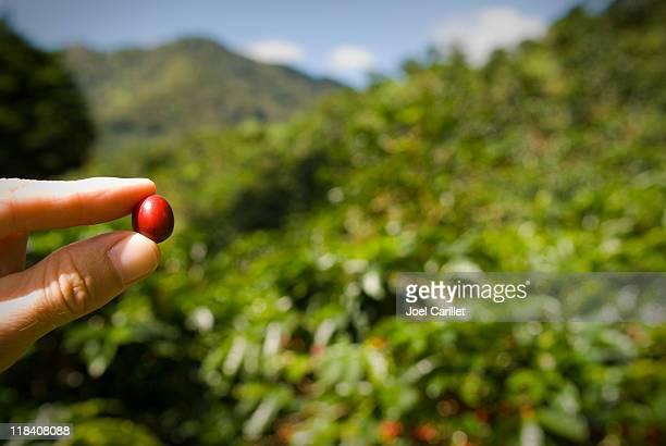 Reife Kaffeebohnen zwischen dem Finger auf Kaffeeplantage