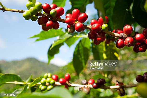 Ripe coffee beans (cherries) in mountains of Panama
