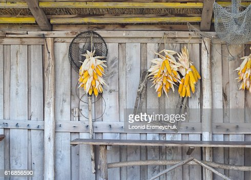 Ripe corn cob drying on the wooden wall : Stock Photo