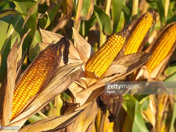 Reife corn Geschäftsschluss