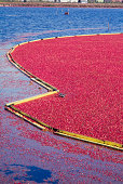 Ripe cranberries floating and boomed ready for tra