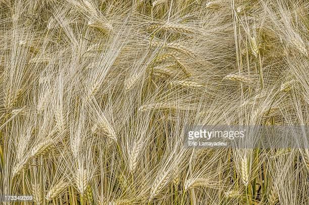 Ripe ears of Emmer wheat in a field