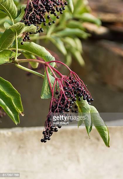Ripe elderberries