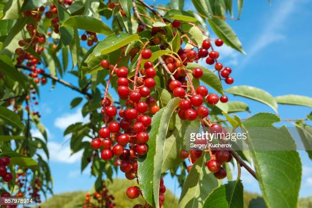 Ripe fruits of bird cherry in the public park in Moscow