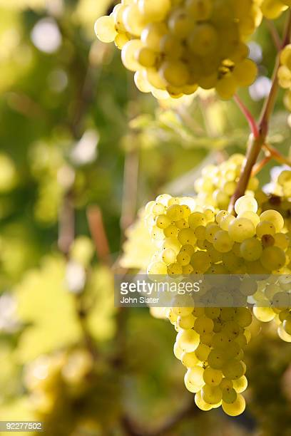 ripe grapes hanging on vine in sunlight
