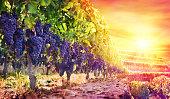 Purple Grapes In Scenic Vineyard