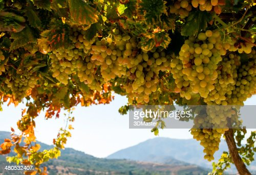 Ripe grapes : Stockfoto