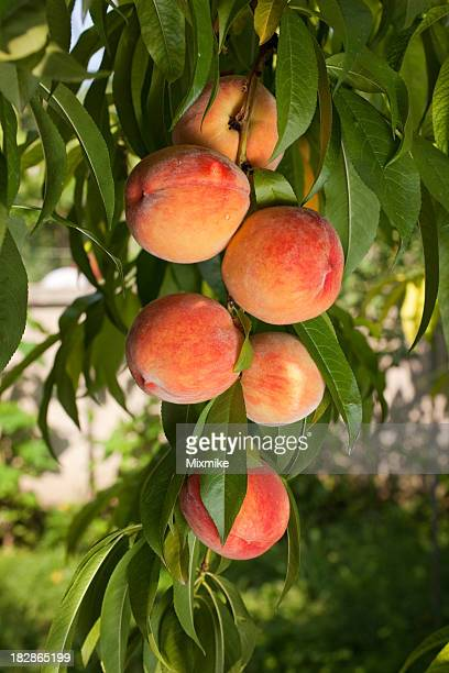 Ripe juicy red peaches